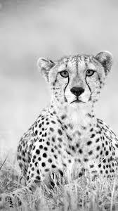 1920x1080 best cheetah wallpapers and backgrounds