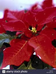 Stern Von Bethlehem Euphorbia Spec Detail Blüten