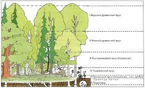 Животные и растения леса Экология Реферат доклад сообщение  Рис 163 Ярусность смешанного леса