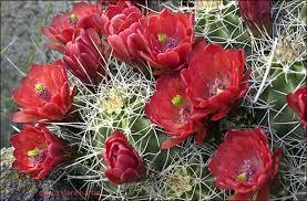 desert plants flowers.  Flowers Claret Cup Cactus On Desert Plants Flowers
