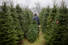 Hurst Tree Lighting Christmas Tree Farmers Pining For Strong Crop After Poor