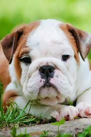 English Bulldog Price Chart How Much Are English Bulldogs Cost Of Buying And Raising A
