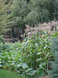 corn growing in a garden with other vegetables