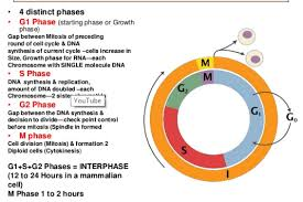 Introduction To Cell Cycle Division Phases