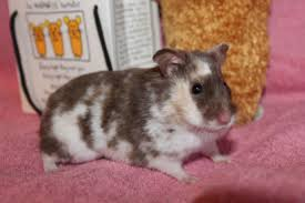 Syrian Hamster Colors And Coats Phoenix Ashes Hamstery