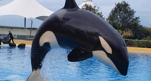 a picture of a whale. Simple Picture Morgan Held In Captivity At Loro Parque Tenerife Spain To A Picture Of Whale
