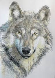 wolf drawing. Modren Drawing Final Drawing Of The Wolf Intended Wolf Drawing R