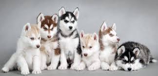 Image result for husky dogs: washington