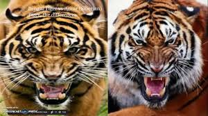 siberian tiger vs bengal tiger.  Siberian Bengal Tiger Vs Siberian And Siberian Tiger Vs Bengal O