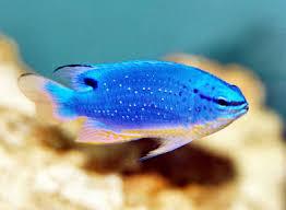 Fiji Blue Devil Damselfish South Sea Demoiselle