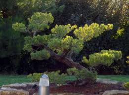garden with stones and japanese black pine tree