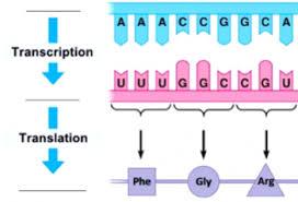 A c c c c t c t. How Genes Can Cause Disease Introduction To Transcription And Translation Serendip Studio