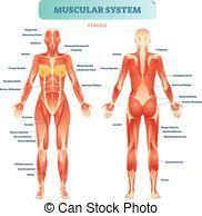 Back Laminated Anatomy Chart Uncommon Musle Chart