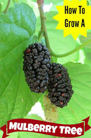 Black Mulberry Tree NO ROOTS 10 Cuttings Canning Eating Jelly Mulberry Tree No Fruit