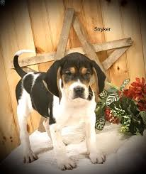 Treeing Walker Coonhound Puppy For Sale ...