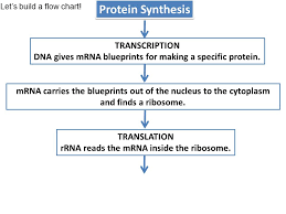 Goal 3 01b Protein Synthesis And Gene Regulation Ppt