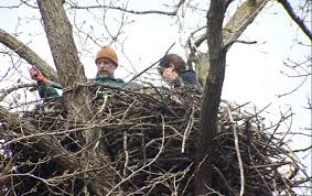 eagles nest size decorah eagles everything you need to know three eggs