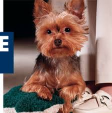 breed profile yorkshire terrier