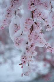 A spring <b>snow</b> -- <b>Sakura</b> | <b>Beautiful</b> Japan | Flowers, <b>Cherry blossom</b> ...