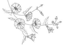 大人の塗り絵朝顔の花 もくもくん知育プリントキッズ
