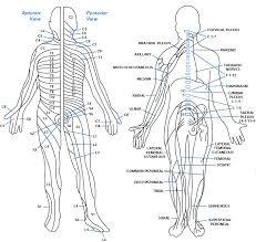Dermatomes Peripheral Nerve Chart