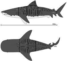 shark diagrams l wiring diagram and ebooks • tiger shark diagram wiring diagram for you rh 14 4 carrera rennwelt de great white shark