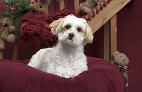 15 maltipoo haircuts to make your puppy