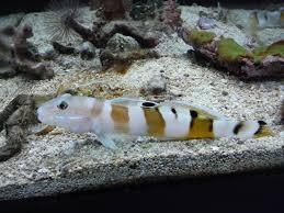 Pesci marini barriera corallina