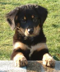 bernese mountain dog mix. Fine Mix Bernese Mountain Dog X Saint Bernard Mix U003d Bernese A Small Black  And Tan Puppy With Thick Soft Fur Ears That Hang Down To For Mix