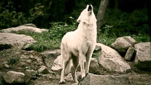 white wolf and black wolf howling. White Wolves Howling In The Deer Park Schaurig Schn Wlfe Heulen Im Wildpark YouTube With Wolf And Black