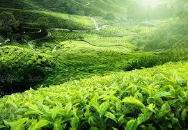 نتیجه تصویری برای عکس چای در طبیعت