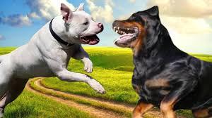 Resultado de imagem para pitbull rottweiler