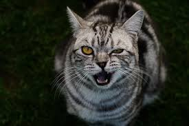 cats breath stinks. Exellent Cats No Animal Has Minty Fresh Breath But You Also Shouldnu0027t Gag When Your Cat  Yawns In Face Here At Village Vet Of Urbana Weu0027ve Treated Many Cases  To Cats Breath Stinks E