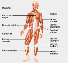 labeled muscular system diagram   aof comthe fastest approach to memorize human muscular system health