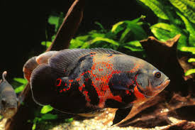 Oscar Fish Cichlid Tiger Red Albino