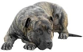 Perro de Presa Canario Dog