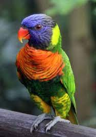 Rainbow Lory Personality, Food & Care – Pet Birds by Lafeber Co.