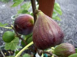 Hardy Fig Trees Choosing Fig Trees For Zone 5 Gardens