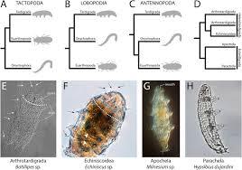 tardigrade actual size segmentation in tardigrada and diversification of segmental patterns