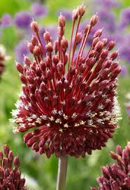 Flowering Onion Allium amethystinum Red Mohican® from ...