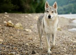 Wolf Vs Dog Size Chart 8 Differences Between Dogs And Wolves Petmd