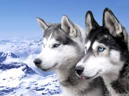 cute husky puppies with blue eyes wallpaper. Beautiful With And Cute Husky Puppies With Blue Eyes Wallpaper U