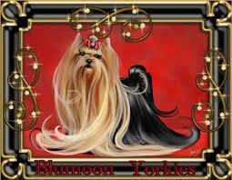 wele to blumoon akc yorkies akc yorkshire terriers registered
