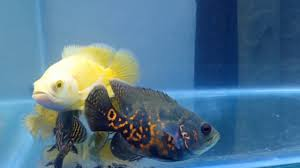 Cara Mengatasi Ikan Oscar Tidak Mau Makan