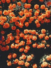 blooming orange petaled flowers at ...