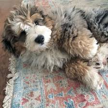 Aussiedoodle Size Chart What You Need To Know About The Australian Labradoodle K9 Web