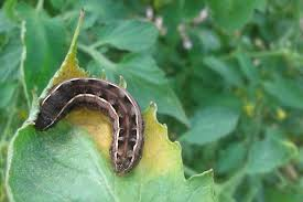 Prevent Cutworms From Destroying Garden Plants
