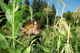 Growing Popcorn My Popcorn Is Growing Farm Folly
