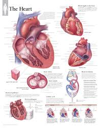 Anatomy Of The Heart Chart The Heart