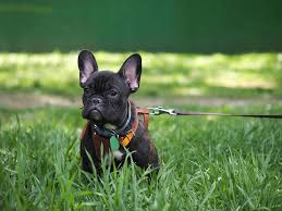 top 5 best harnesses for french bulldogs